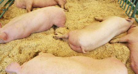 Pig on shavings 2